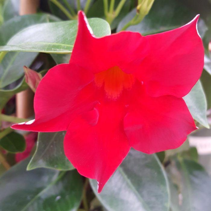 Sun Parasol Crimson Crimson Mandevilla Gullos Garden Center