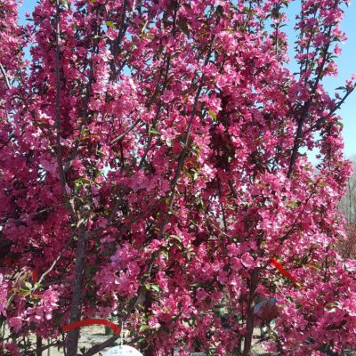 9 flowering trees that will beautify your yard in 2018 gullos stunning deep pink to red flowers in spring cover the prairifire crabapple later small crabapples develop this is the perfect tree for bird lovers mightylinksfo