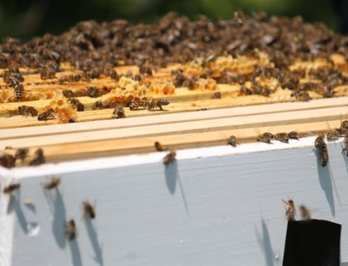 Save the Bees – How Gardeners Can Help
