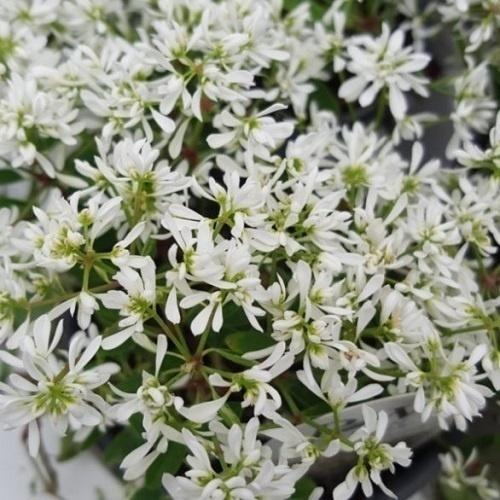 Diamond Frost Euphorbia Gullos Garden Center