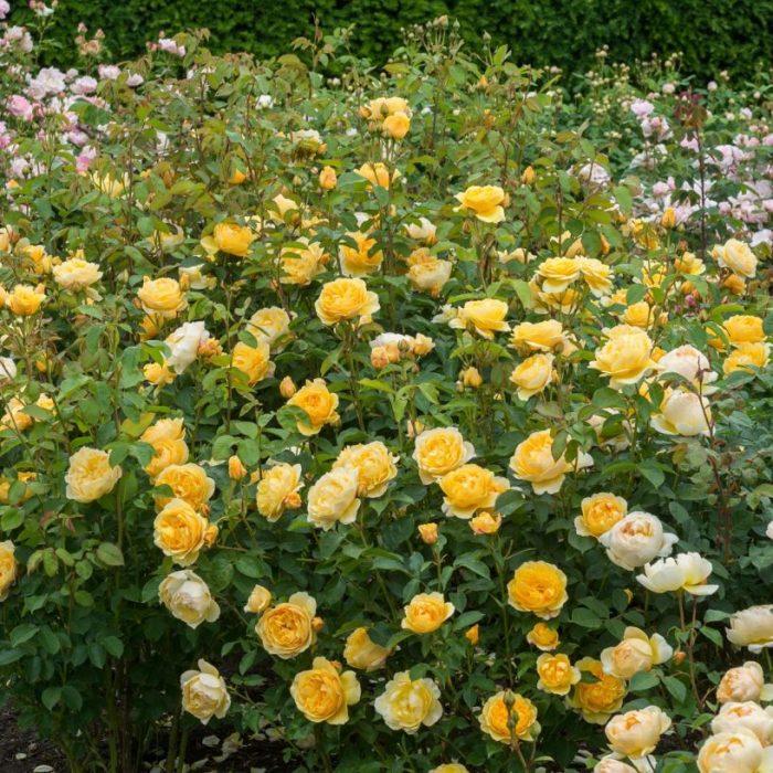 David austin graham thomas rose bush gullos garden center graham thomas rose bush thecheapjerseys Images